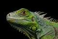 Green iguana isolated on black background Royalty Free Stock Photo