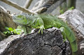 Green iguana on mallet dry Stock Photography