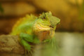 Green iguana in natural environment wild Royalty Free Stock Image