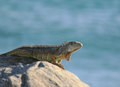 Green Iguana by Ocean Stock Photo