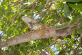 Green iguana a perched high up on a branch of a sea grape tree it is an invasive species in the state of florida Royalty Free Stock Image