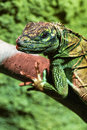 Green iguana portrait the or common Stock Photography