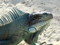 Green iguana portrait of a seen at the beach in guadeloupe caribbean at evening time Royalty Free Stock Images