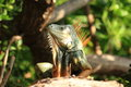 Green iguana profile a frontal image of a wild basking in the sun of florida s keys Stock Images