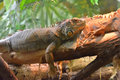 Green iguana resting on a tree branch Stock Photos