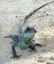 Green iguana a seen at the beach in guadeloupe caribbean at evening time Stock Photography