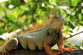 Green iguana a side and facial image of a wild basking in the sun on a branch of a tree in the usas florida keys Stock Photography
