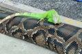 Green Iguana On A Snake