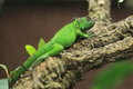 Green iguana the on the tree Stock Photography