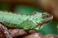 Green Iguana on a tree Royalty Free Stock Photo