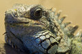 Green iguana in an uncanny pose a almost resembles a happy horned toad Royalty Free Stock Photography