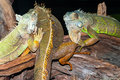 Green Iguanas On Tree Branches
