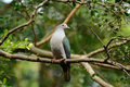 Green Imperial Pigeon (Ducula aenea) Royalty Free Stock Photo