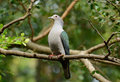 Green Imperial Pigeon (Ducula aenea) Royalty Free Stock Images
