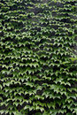Green Ivy Background Royalty Free Stock Photography