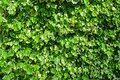 Green Ivy For A Background Royalty Free Stock Photo