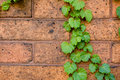Green Ivy on brick wall Stock Photo