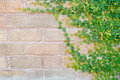 Green ivy on the brick wall Royalty Free Stock Photo