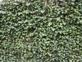Green ivy hides wall. Natural background texture.