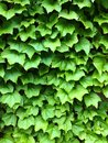Green ivy leaves. Textural floral background