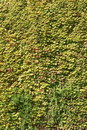 Green ivy leaves on a wall Royalty Free Stock Photos