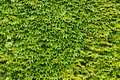 Green ivy leaves wall Royalty Free Stock Photo