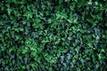 Green ivy leaves on wall Royalty Free Stock Photo