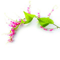 Green ivy with pink blossoms Royalty Free Stock Photo