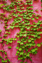 Green ivy on pink wall Royalty Free Stock Images
