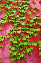 Green ivy on pink wall Royalty Free Stock Photo