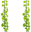 Green ivy plant Royalty Free Stock Photo