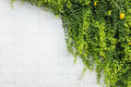 Green ivy plant on white cement wall. Outdoor garden decoration Royalty Free Stock Photo