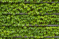Green ivy texture Stock Photos