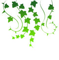 Green ivy vector illustration of Royalty Free Stock Photos