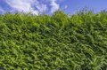 Green ivy wall Royalty Free Stock Photos