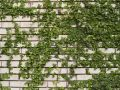 Green ivy on wall Royalty Free Stock Photo