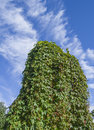 Green ivy wall on blue cloudy sky Royalty Free Stock Photography