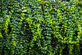 Green ivy wall texture Royalty Free Stock Photo