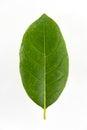 Green jackfruit leaf isolated on white background Royalty Free Stock Photo
