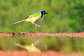 Green jay hoping in mid-air Royalty Free Stock Photo