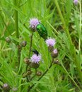 Green june beetle Royalty Free Stock Photo