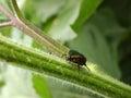 Green June Beetle Royalty Free Stock Photo