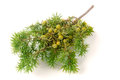 Green juniper branch with berries isolated on white background Royalty Free Stock Photo