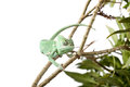 Green juvenile veiled chameleon Royalty Free Stock Photo