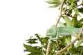 Green juvenile veiled chameleon (Chamaeleo calyptratus) Royalty Free Stock Photo