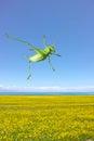 Green katydid a jumps over the rape field Royalty Free Stock Photos