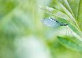 Green lacewing on the plant Stock Image