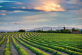 Green lavender fields at sunset Royalty Free Stock Photo