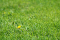 Green lawn the dandelion flower is blooming in grassland Stock Images