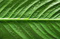 Water drops on green leaf Royalty Free Stock Photo